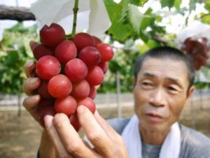 "A farmer displaying a cluster of recently-developed ""Ruby Roman"" grapes in his vineyard in Kahoku city in Japan. /AFP"