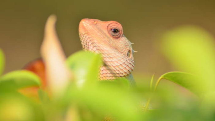 Iran: Western lizards join 'spy' pigeons, squirrels sent to track its atomic facilities