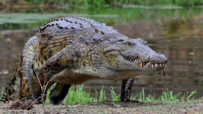 Egypt eyes crocodile exports as solution to fiscal woes