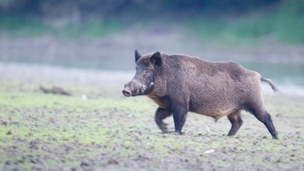 Rampaging wild boars kill 3 ISIS jihadists in Iraq