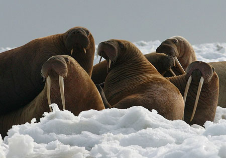 Documentary film crew denies spooking walruses who fell to their deaths