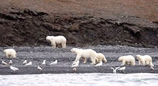 Pity the poor polar bears, not: Professor loses job after research caused offense
