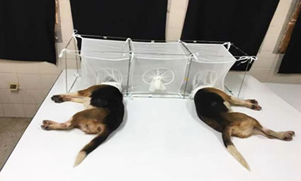 Fauci pressed to explain 'cruel' grant for tests on beagles being eaten alive by insects